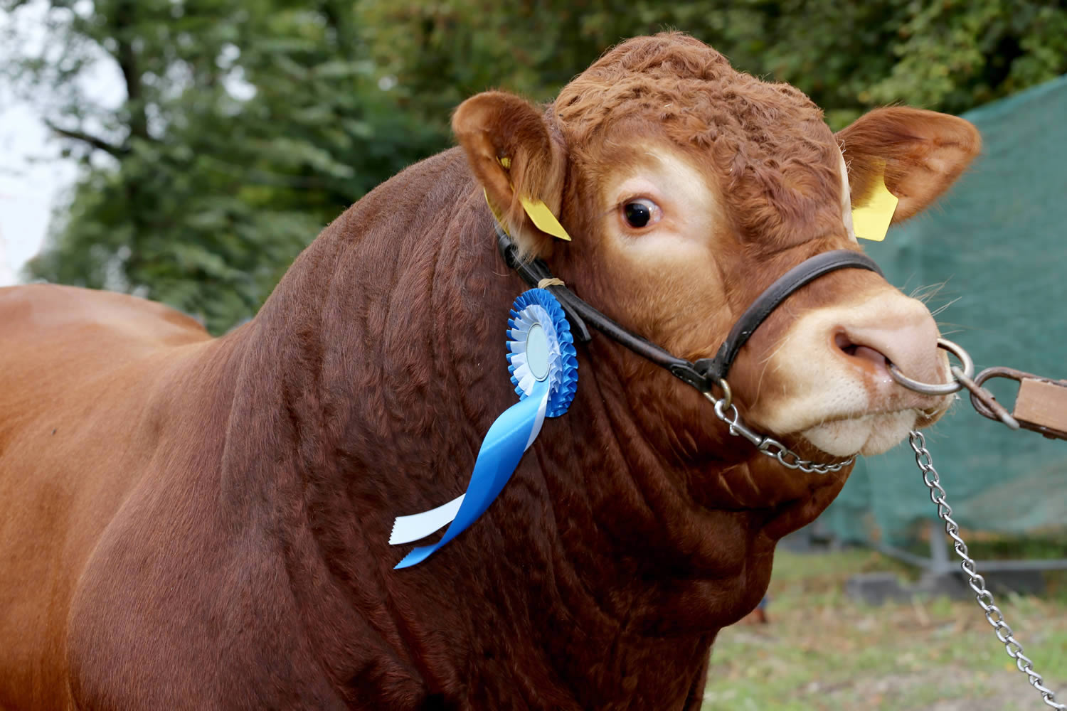Bovine Hairdressing